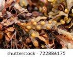 bladder wrack  fucus... | Shutterstock . vector #722886175