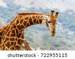 Portrait Of A Curious Giraffe ...