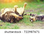 Stock photo dog and cat best friends playing together outdoor lying on the back on grass 722987671