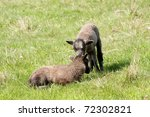 young shetland sheep twins  one ... | Shutterstock . vector #72302821