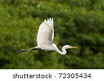 Great White Egret Flying...