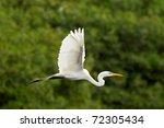 Great White Egret Flying...