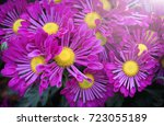 purple chrysanthemums flower... | Shutterstock . vector #723055189