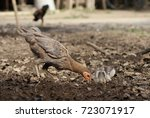 hen and chicks are searching...   Shutterstock . vector #723071917