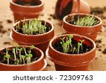 Freshly germinated herb seedlings in tiny 2 inch starter pots with water droplets.  Macro with shallow dof. - stock photo