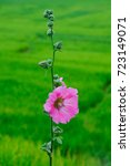 Small photo of Close up of pink Hollyhock, Alcea rosea blossom on field