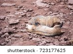 Small photo of Pair of American badgers (Taxidea taxus) slipping on the dirt red rocky ground