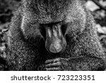 Big Male Baboon In Lake Manyar...