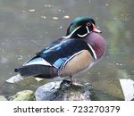 the wood duck or carolina duck  ... | Shutterstock . vector #723270379