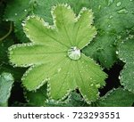 lady's mantle with a dewdrop | Shutterstock . vector #723293551