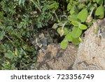 Small photo of Baby Testudo graeca hatchling hiding