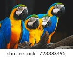 The Blue Throated Macaw ...