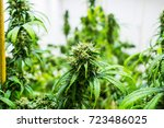 pot plant  cannabis  weed or... | Shutterstock . vector #723486025