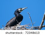 great cormorant on nest in... | Shutterstock . vector #72348613