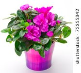 Blooming pink azalea in a purple pot on white background - stock photo