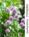 """Small photo of Purple """"Chives"""" flower (or Wild Chives, Flowering Onion, Garlic Chives, Chinese Chives, Schnitt Lauch) in St. Gallen, Switzerland. Its Latin name is Allium Schoenoprasum."""