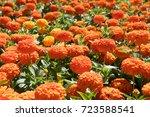 orange zinnia with double... | Shutterstock . vector #723588541