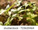 small shoots of sunflower in... | Shutterstock . vector #723620464