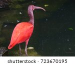 The Scarlet Ibis  Eudocimus...