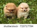 orange pomeranian spitz puppies ... | Shutterstock . vector #723717784