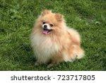 Adult Orange Pomeranian Spitz...