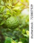 Small photo of Bergamot and bergamot tree in garden