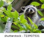 american raccoon  procyon lotor ... | Shutterstock . vector #723907531