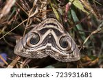 Close Up Of Indian Owlet Moth