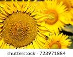 field of sunflowers | Shutterstock . vector #723971884