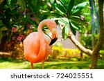 A Pink Caribbean Flamingo In...