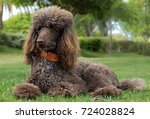 portrait of a standard poodle... | Shutterstock . vector #724028824