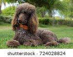 portrait of a standard poodle... | Shutterstock . vector #724028824