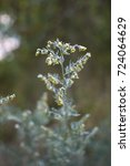 Small photo of absinthe wormwood