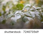 elm leaves covered with first... | Shutterstock . vector #724073569