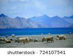 a flock of goats living near... | Shutterstock . vector #724107541
