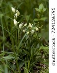 Small photo of Close-up photo of rare orchid in the natural environment. White helleborine, Cephalanthera damasonium