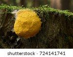 Yellow Slime Mold On Wood ...