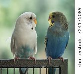 Two Budgies Looking At Each...