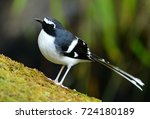 Small photo of beautiful slaty-backed forktail (Enicurus schistaceus) in Thai forest