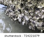 saccostrea or hooded oyster or... | Shutterstock . vector #724221079