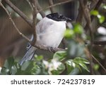 azure winged magpie  cyanopica... | Shutterstock . vector #724237819