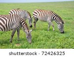 Plains Zebras Grazing In...