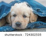 golden retriever dog puppy in... | Shutterstock . vector #724302535