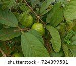 guava | Shutterstock . vector #724399531