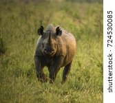 Small photo of Black Rhinoceros or Hook-lipped Rhinoceros, Diceros bicornis, grazing, Upper Mara, Masai Mara Game Reserve, Kenya, Africa
