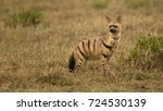 Small photo of Aardwolf, Proteles cristata, Gol Kopjes, Serengeti National Park, Tanzania, Africa