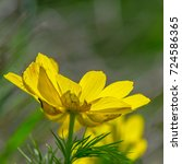 Small photo of blossoming adonis flower of spring on a dark background on a sunny day