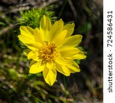 Small photo of Blossoming Adonis Flower of Spring on a Dark Background on a Sunny Day. Closeup.