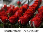 red roses on the plantation in... | Shutterstock . vector #724646839