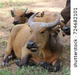 Small photo of African Buffalo in Senegal